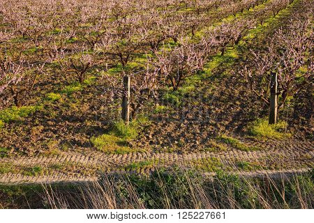 View of typical Leonforte peaches trees in Sicily