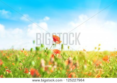 Landscape with blue sky and red poppies in green grass