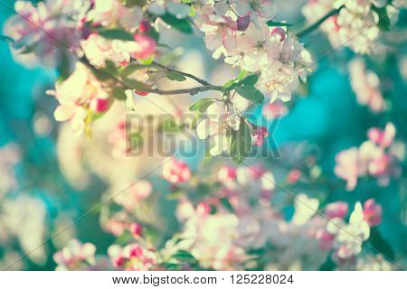 Spring Apple Blossom over blue sky. Orchard scene. Blossoming tree. Toned Photo