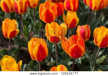 Separate Large Flowers Tulips In Spring Garden Closeup