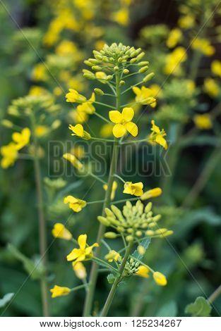 Yellow pin on spring oilseed rape flowers.