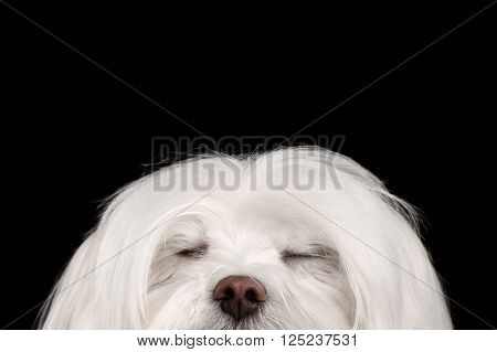 Closeup Dreaming White Maltese Dog with closed eyes isolated on Black background