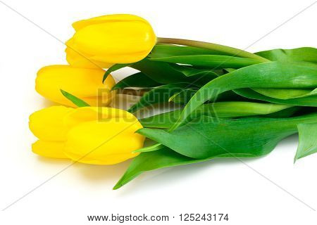 Beautiful Yellow tulips Isolated on White Background