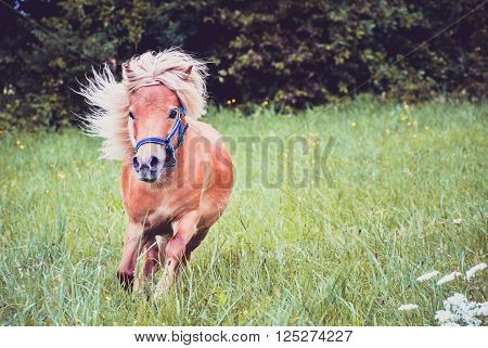 Pony horse on a leash is galloping on the meadow. Shetland Norwegian pony is exercising on green grass with forest in the background. Animal in nature poster