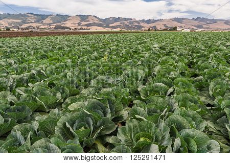Big fresh cabbage crops growing in field.