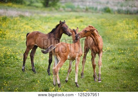 Three foals plays on a meadow at summer time
