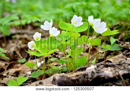 White wood sorrels (Oxalis) blooming in the forest