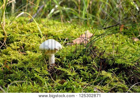 Small white mushroom in beautiful moss in the forest