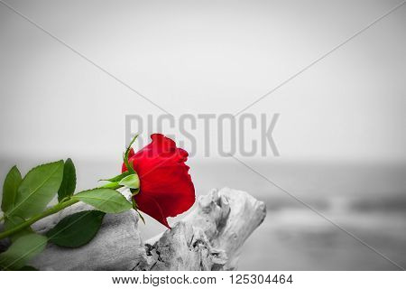 Red rose lying on broken tree on the beach. Concept of romantic love, romance, but may also symbolize a loss, melancholy, memory of the past etc.  Color against black and white poster