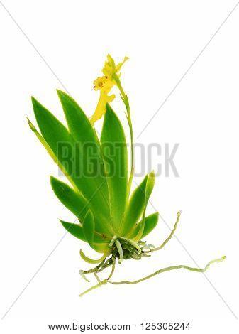 Erycina pusilla yellow orchid isolation on white background whole plant