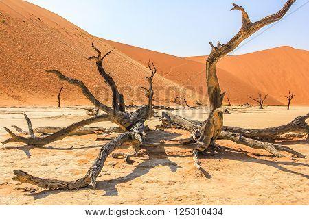 Namib Naukluft tree. Sossusvlei Namib-Naukluft National Park, Namibia.