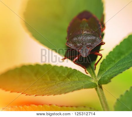 Shield Bug Or Stink Bug on plant. Extreme close up
