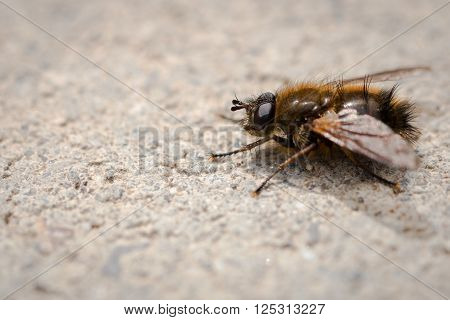 Macro image of a golden dung fly on the sidewalks