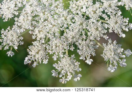 Achillea millefolium known commonly as yarrow. Wildflower