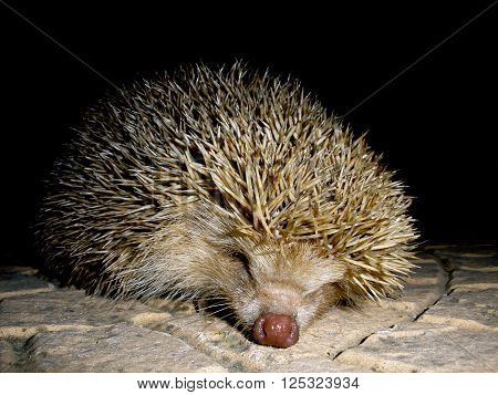 Portrait of a hegdehog wandering at night