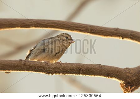 Funny sparrow looks surpriced sitting on a branch