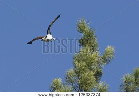 Osprey takes off from branch. The osprey takes off in flight from the top of a tree in Fernan Idaho.