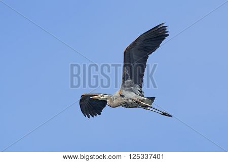 Heron in flight up high. A great blue heron flies gracefully up in the sky in north Idaho.