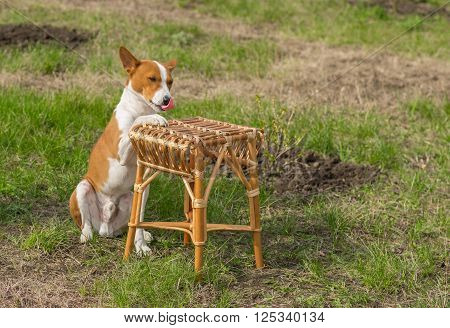 Canine rest in a garden - smart basenji dog shows silly master where to put plate with canine lunch