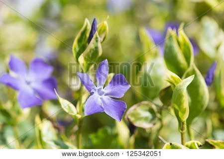 Blue Vinca flower or periwinkle plant