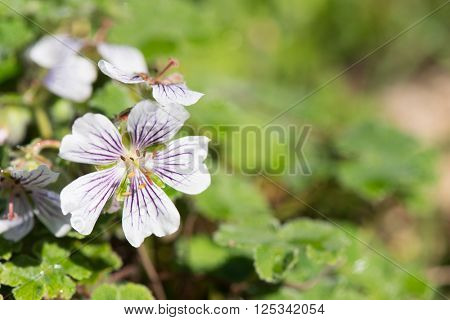 Geranium renardii plant with flowers