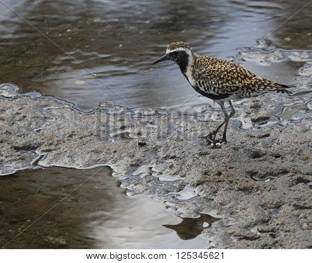 A Pacific Golden Plover (Pluvialis fulva) in breeding colours foraging on a coral reef.