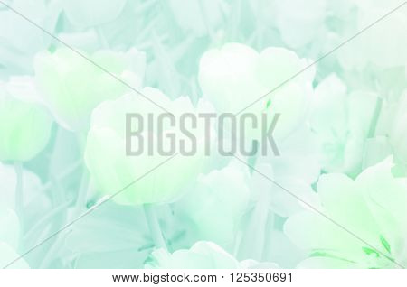 Blossom Tulip Pastel Tone.