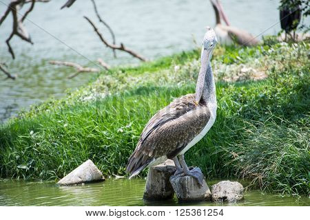 pelicans on the lake in nature ,bird, decoy, divers, feather, feathered