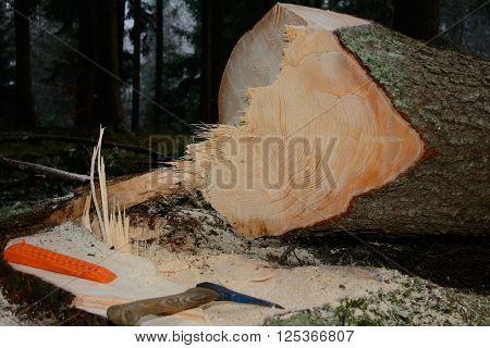 freshly cut spruce with tool - closeup