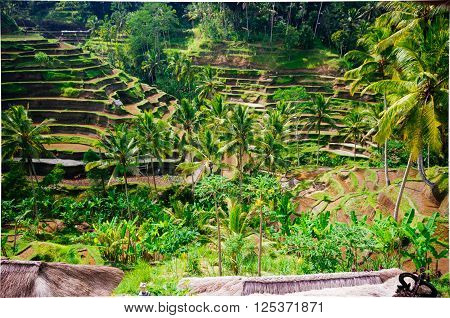 Rice Terraces, Tegalalang, Bali, Indonesia