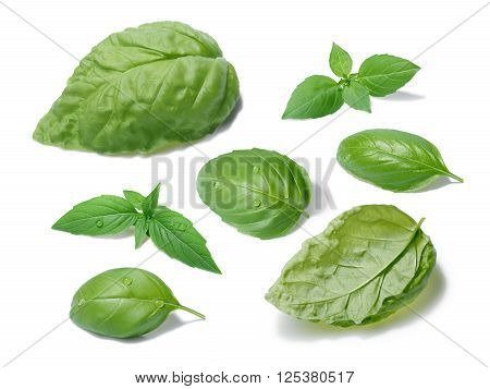 Collection of basil leaves different cultivars. Separate clipping paths for both leaves and shadows infinite depth of field. List of cultivars in paths names poster