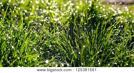 Picture of a Morning dew drops on a grass