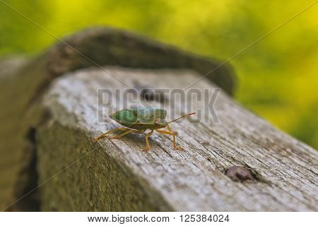 Green stink bug or shield bug on wooden handrail ** Note: Visible grain at 100%, best at smaller sizes