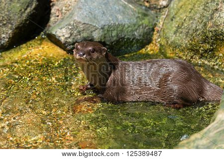 River Otter Playing In The Water