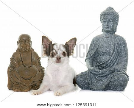 adult chihuahua and boudhas front of white background