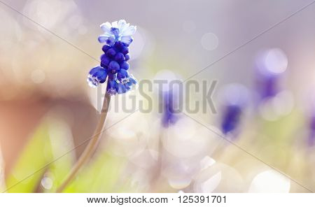 Blue spring flower of a muskari(grape hyacinth) lit with the sun.