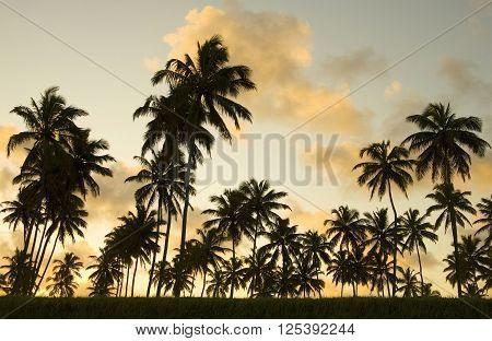 Palm tree sunset Porto de Galinhas beach Pernambuco Brazil South America.