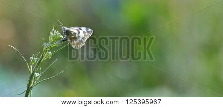 Close up of Common Pierrot (Castalius rosimon) butterfly