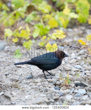 Brown-headed Cowbird (Molothrus ater) perched on the ground