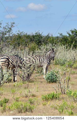 Damara zebras in a bush Equus burchelli Etosha national park Namibia