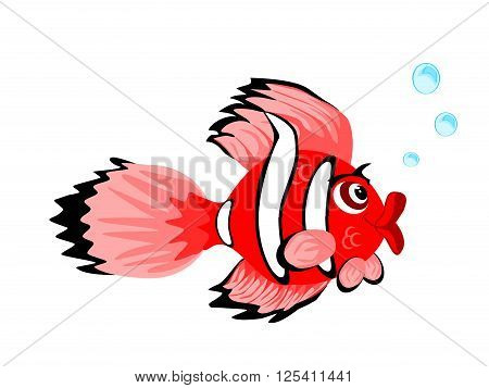 One large clown female tropical fish blowing bubbles and isolated on white background