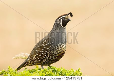 Male California Quail Closeup Portrait, Point Reyes, California