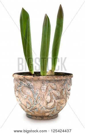 Three young tulip sprouts in old ceramic pot isolated over white with clipping path