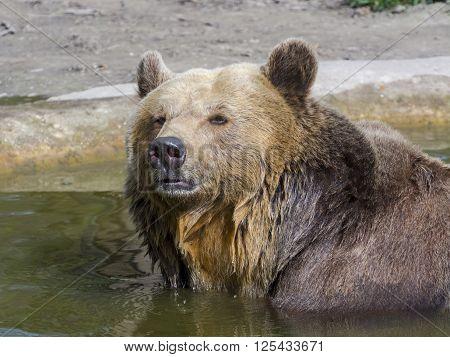 Brown Bear Bath