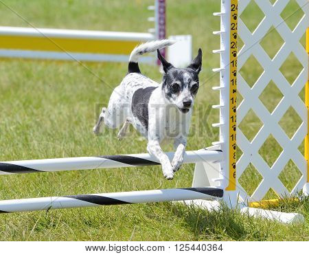 Rat Terrier Leaping Over a Jump at a Dog Agility Trial ** Note: Visible grain at 100%, best at smaller sizes