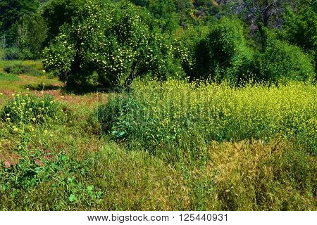 Mustard Plant flowers in a rural field during spring