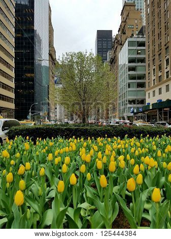 Yellow Spring Tulips Bloom Along Park Avenue, New York City