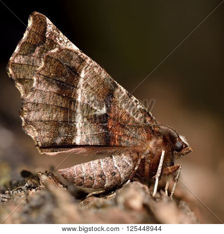 Early thorn moth (Selenia dentaria) with dark wings. Moth in the family Geometridae, at rest showing pattern on underside of wings