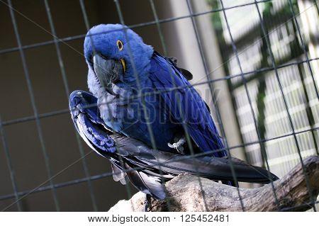 Blue arara parrot alone inside cage in Brazilian zoo