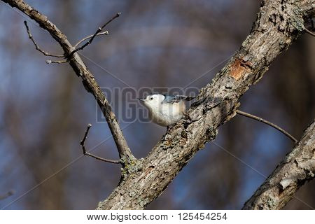 The white-breasted nuthatch is a small songbird of the nuthatch family which breeds in old-growth woodland across much of temperate North America. It is a stocky bird, with a large head, short tail.
